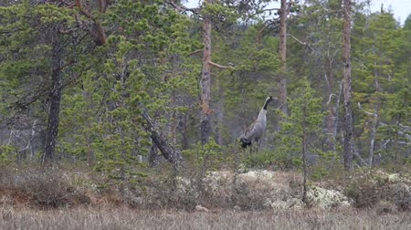 торф : The Gray crane (Common crane, Grus grus) trumpets in the pine forest at the edge of the swamp. Lapland, Spring in Northern Scandinavia Стоковые видеозаписи