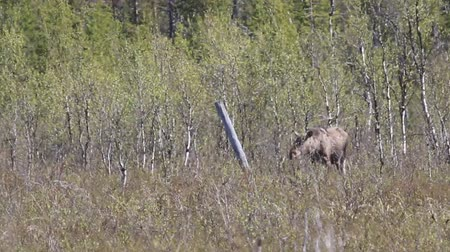alce : Giving birth moose. The process of childbirth filmed by telephoto lens in the dwarf birch thicket in the boreal forest in the middle of the day (trembling haze) in Lapland