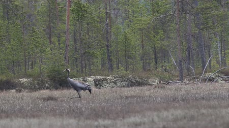торф : Gray crane (Common crane, Grus grus) walks in the swamp. Royal bird in Lapland in the conditions of the Scandinavian boreal forests, breeding ground Стоковые видеозаписи