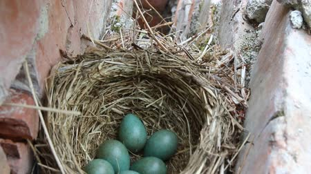 egg laying : Nest with six eggs clutch of thrush - the Redwing (Turdus iliacus). Lapland