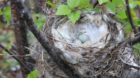 bird learning : Birds nests guide. Cozy Arctic redpoll (Acanthis hornemanni) white nest in birch tree among the scale lichen. The nesting hollow is lined with partridge feathers. Lapland Stock Footage