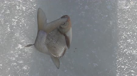 снасти : Fish caught in the winter from under the ice and beats on the ice. Winter fishing for bream (Abramis brama). Super slow motion 1000 fps.