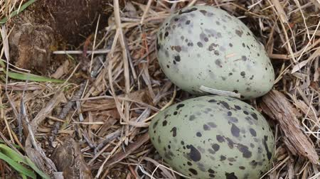 kavrama : The birds nest guide.. Two speckled eggs in the nest of the common gull (Larus canus). Lapland