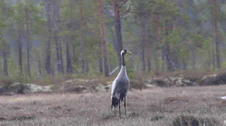 koşullar : Gray crane (Grus grus) walks in the swamp. Royal bird in Lapland in the conditions of the Scandinavian boreal forests. Nesting habitat of Common crane. Lapland Stok Video