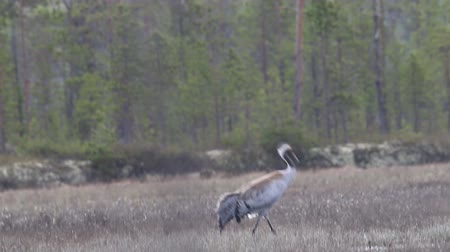 hűség : Gray crane (Grus grus) walks in the swamp. Royal bird in Lapland in the conditions of the Scandinavian boreal forests. Nesting habitat of Common crane. Lapland Stock mozgókép