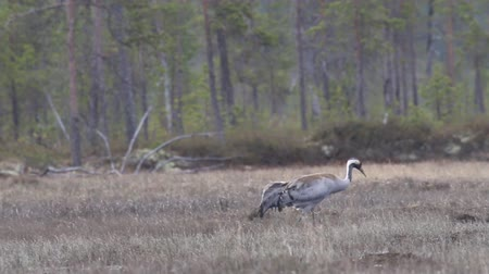 brodění : Gray crane (Grus grus) walks in the swamp. Royal bird in Lapland in the conditions of the Scandinavian boreal forests. Nesting habitat of Common crane. Lapland Dostupné videozáznamy