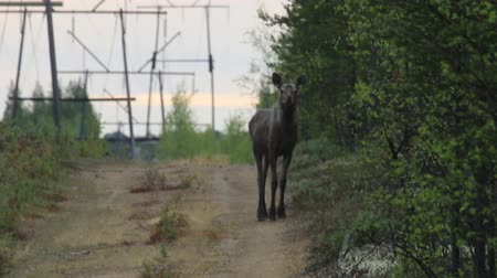 caça : Young (one-year-old) elk passes cutting down under the high-voltage line in the deep Northern forests. Migration of moose in spring