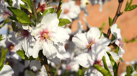 mandula : Almond bloom in spring, in a sunny day