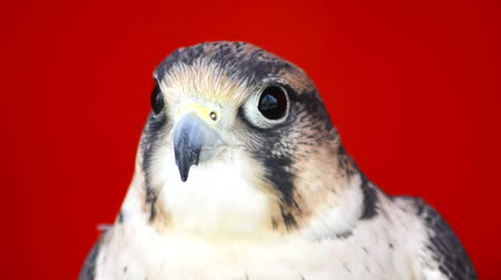 europe population : Falco tinnunculus head with gray spots