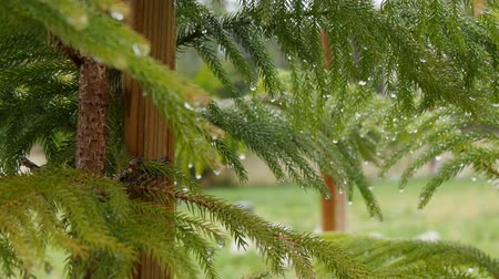 pinus : Rain drops on pine needles. Raining. 4K.
