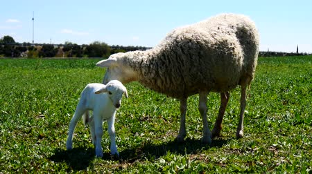 mother cow : Newborn lamb with his mother Stock Footage