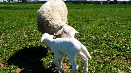 koyun : Newborn lamb with his mother Stok Video