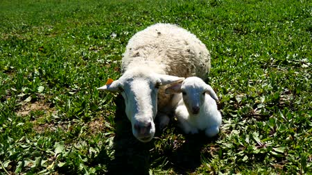 cordeiro : Newborn lamb with his mother Vídeos