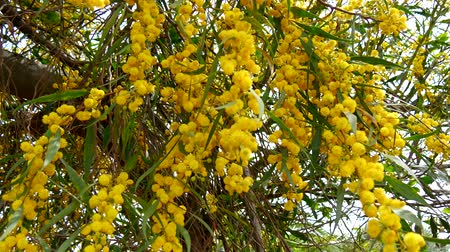 akacja : Acacia dealbata, also called silver wattle, blue wattle or mimosa (4K)