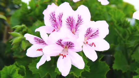 perennials : Geranium flowers Pelargonium spring time 4K