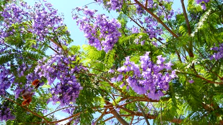 acutifolia : Flowering Jacaranda Tree 4K