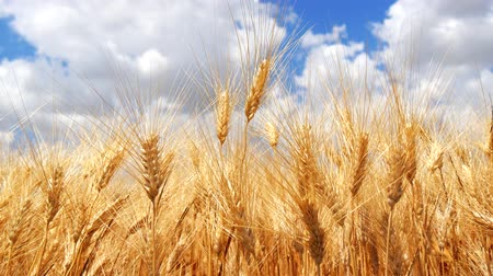 mavi gök : Ripe wheat field blue sky white clouds 4K Stok Video