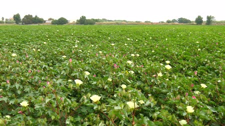 cultivar : A field of cotton plants with unripe bolls and flower with leaf 4K Vídeos