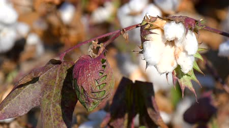 bavlna : Cotton Plant Ready to Harvest 4K