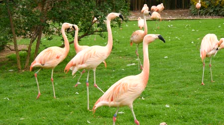 chilean flamingo : Group of flamingos in a prairie, Phoenicopterus chilensis Stock Footage