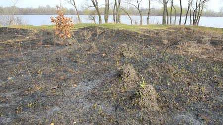 molehill : Land after fire consequences: dry ground, tree roots and bushes are burnt and devastated. Young grass is growing and there are molehills in the meadow. The Dnieper river appears in the background. Stock Footage