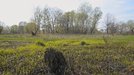 molehill : Kiev, Ukraine. Land after fire consequences: dry ground, tree roots and bushes are burnt and devastated. Young grass is growing and there are molehills in the meadow.  High trees appear in the background.