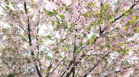oriental cherry tree : Nice pink Sakura Cherry Blossom flowers under the warm spring sun Stock Footage