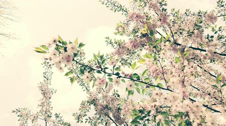 oriental cherry tree : Nice pink Sakura Cherry Blossom flowers under the warm spring sun.  Vintage version Stock Footage