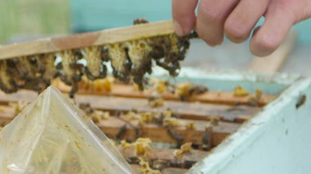 remover : HD Close up view of beekeepers remove honeycomb with brood nests and bees on it