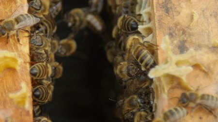 markiza : HD Close up view of bees in a hive on honeycomb