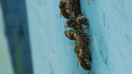 tényleges : HD Close up shot bees walk on the hive before enter it
