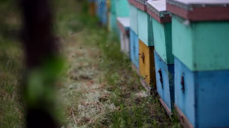 колония : HD Bees flying in and out of hives. Swarm of bees at the entrance of beehive.