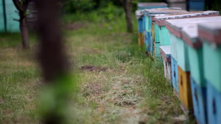 колония : HD Close up view of swamp of bees flying in and out of blue hives.