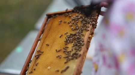 worker bees : HD Beekeepers shows just taken out honeycomb out of the beehouse Stock Footage