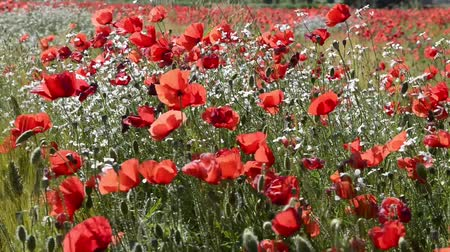 rebirth : poppies and flowers biachi Stock Footage