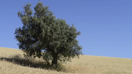 olivový olej : Olive tree in the middle of wheat