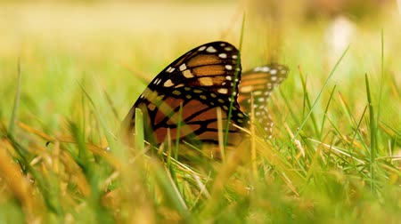 tiger butterfly : Monarch butterfly drinks water on grass