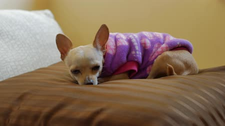 ágynemű : Little Chihuahua dog rests and watches over sofa pillow