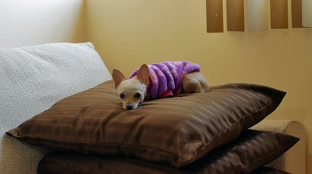 ágynemű : Little beige Chihuahua dog rests on two sofa pillows