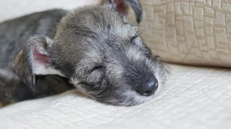 miniatűr : Miniature Schnauzer puppy rest on home sofa Stock mozgókép