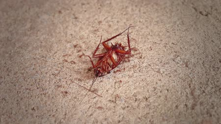 ölen : Time lapse. Cockroach turn over body will be dying and red ants are eating on body.