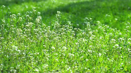 serene : Small Spring White Flowers and Green Grass Flicker in the Wind Stock Footage