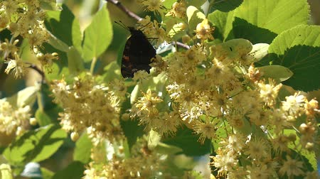monarca : Butterfly flying slow motion on sunlight on tree