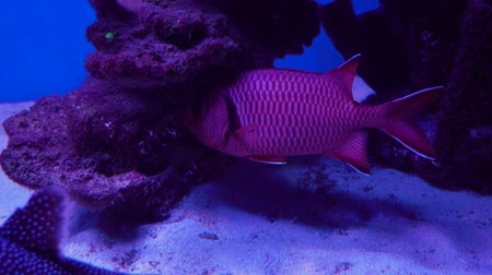 soldierfish : Close up of a red soldierfish or Holocentridae Stock Footage
