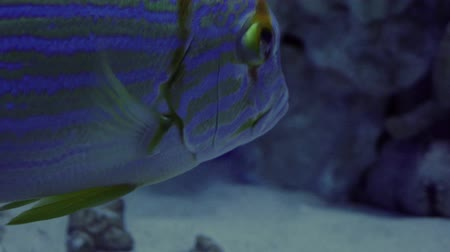 океаны : Blue-Lined Sea Bream, Symphorichthys Spilurus, Single Fish is Floating, fish closeup, oceanarium, underwater, blue lamplight Стоковые видеозаписи