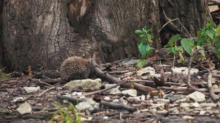 tlapky : little hedgehog on the yard looking for food. Dostupné videozáznamy