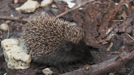 erizos : little hedgehog on the yard looking for food. Archivo de Video