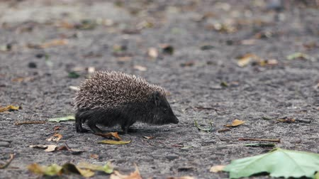 autumnal : little hedgehog on the yard looking for food. Stock Footage