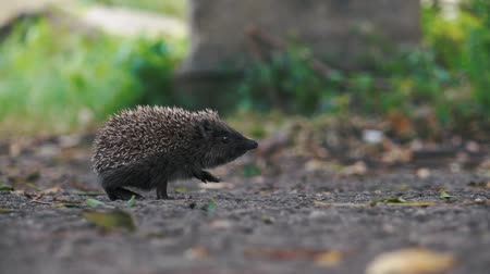 spiny : little hedgehog on the yard looking for food. Stock Footage