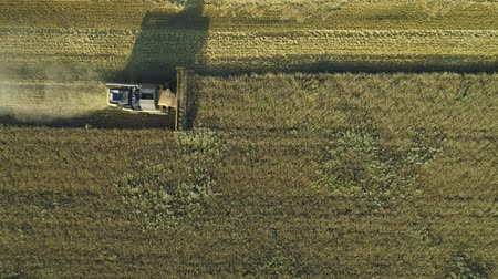 korpa : Aerial drone footage. Top view Combine Harvester gathers the wheat. Harvesting grain field. Beautiful natural aerial landscape. Food industry concept.